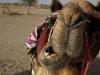 Laal, my camel