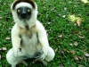 Sifakas are hilarious
