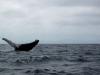 whalebreach2