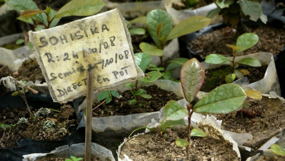 Seedlings of sohisika, a tree endemic to only a few small stands of forest in central Madagascar