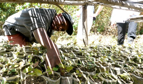 Solofo, president of the local fokontany, shows off sohisika seedlings