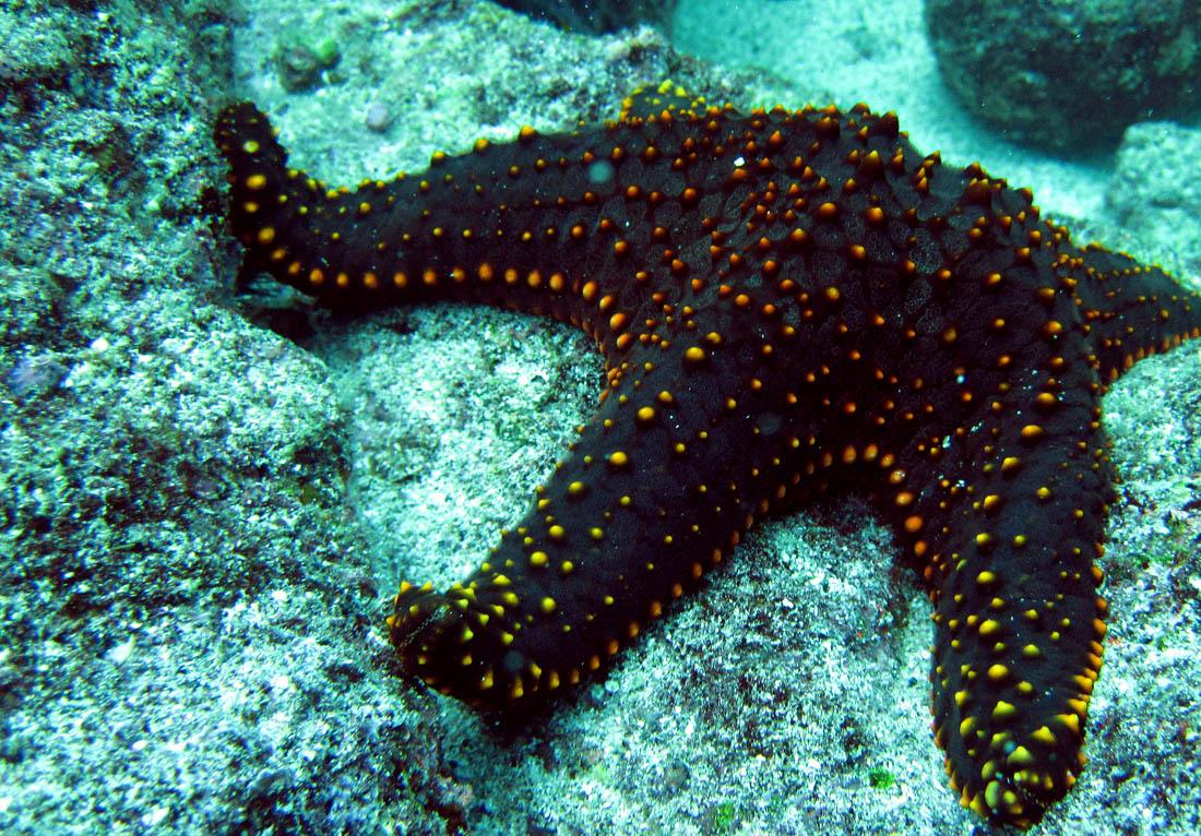 ADAM JADHAV ? sea star