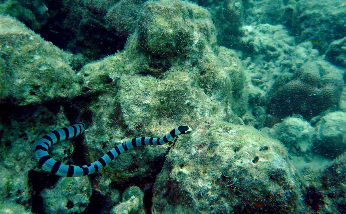 Download On the prowlBanded Sea Snake Bite
