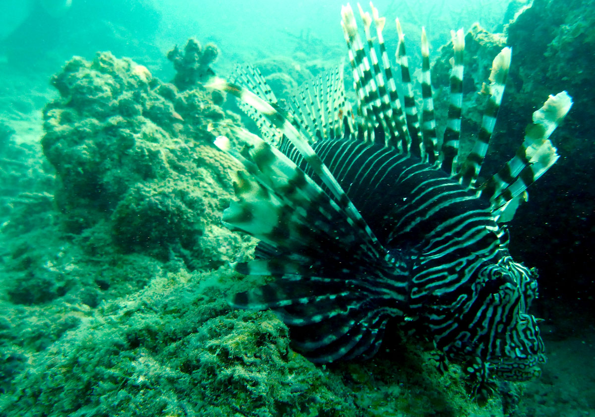 ADAM JADHAV » lionfish