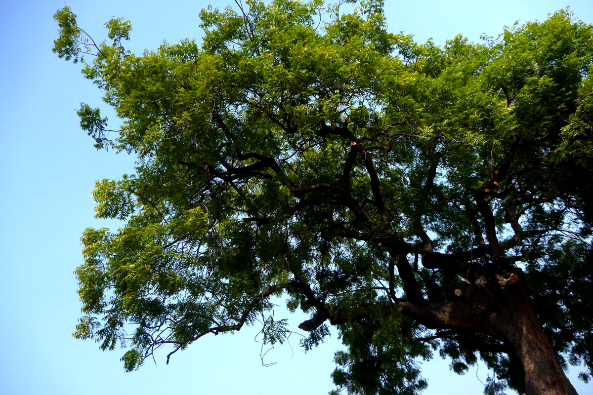 the neem tree explanation One by one the structures were demolished only our own house remained and the trees meaning tenants the sheoga, the oudumber, the neem were all cut down.