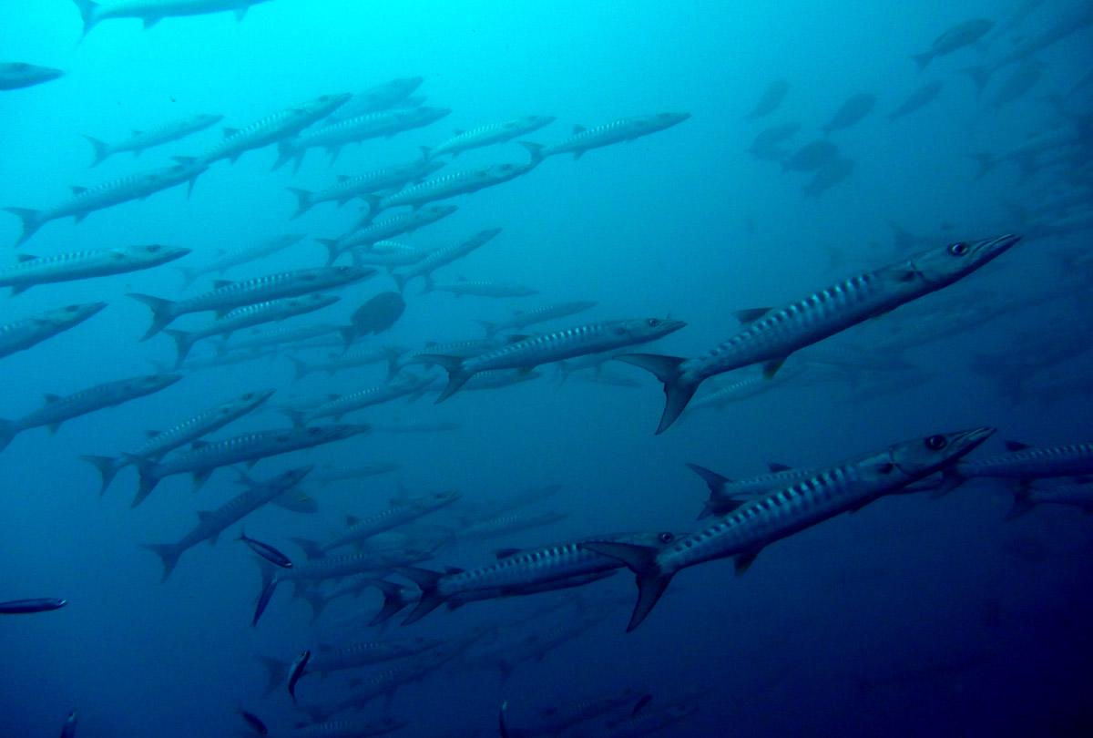 Barracuda off Dixon's Pinnacle, Andaman Islands - photo by Adam Jadhav