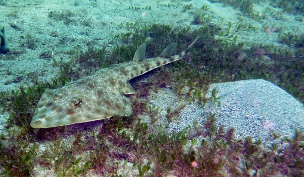 Atlantic guitarfish