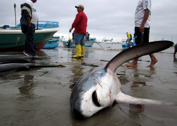 Shark bycatch in Ecuador