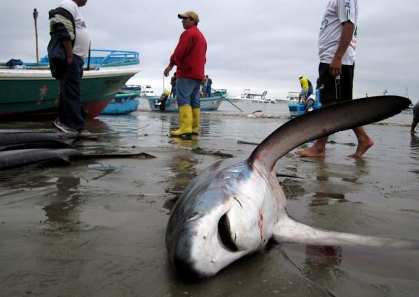 Shark bycatch in Ecuador